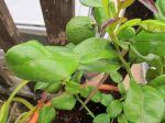 """Combava (Citrus hystrix) -Feuilles et fruits- (La feuille en 2 parties est composée de la feuille proprement dite au sommet et au-dessous de laquelle sont les """"ailes"""" ou stipules très développées du pétiole."""