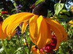 Rudbeckie lumineuse (Rudbeckia fulgida)