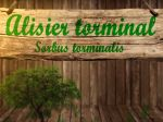 L'alisier torminal, fiche botanique