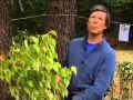 L'arbre aux faisans, conseils de culture