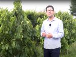 L'asiminier, culture et entretien de la mangue du nord