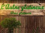 Aulne glutineux, Alnus glutinosa, la fiche botanique