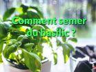 Comment semer du basilic ?