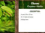 Charme, Carpinus betulus : fiche botanique
