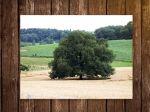 Le chêne pédonculé : fiche botanique
