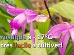 Comment multiplier l'orchidée de jardin Bletilla striata ?