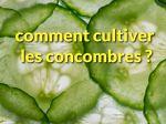 Comment cultiver le concombre ?