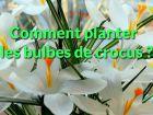 Comment planter les bulbes de crocus ?