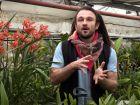Le Cymbidium, une orchidée au fort développement