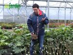 L'edgeworthia, un arbuste à la ramure originale qui fleurit en hiver
