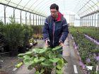 La plante léopard, une vivace aux feuilles graphiques et à la floraison hivernale