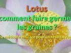 Comment faire germer les graines de lotus?