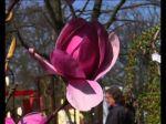 Les magnolias, conseils de culture