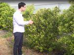 La mandarine satsuma, culture et entretien