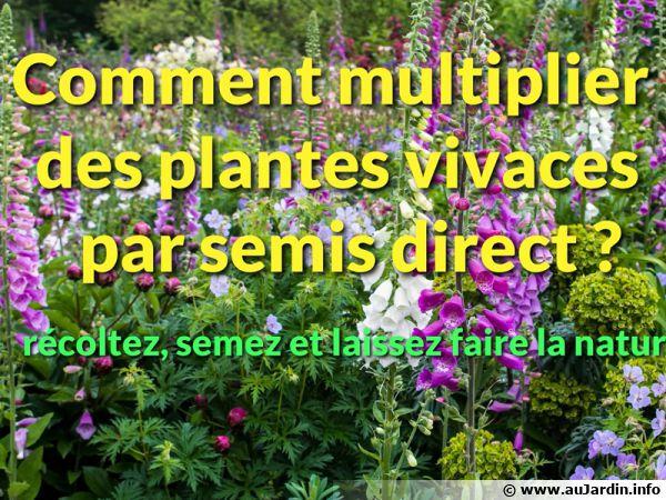 Comment multiplier des plantes vivaces par semis direct ?