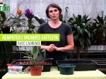 Comment rempoter le cattleya?