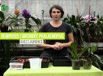 Comment rempoter un Phalaenopsis?