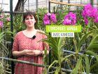 La vanda, une orchidée à la floraison bleue spectaculaire