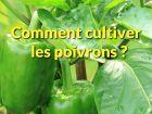 Comment repiquer et cultiver le poivron au potager?