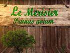 Merisier, Prunus avium : fiche botanique