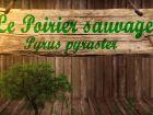 Poirier sauvage, Pyrus pyraster : fiche botanique