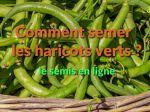 Comment réussir le semis de haricots verts?