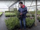 Le sarcococca, un arbuste aux fleurs très parfumées en hiver