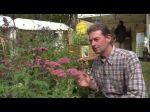 Le sédum des jardins