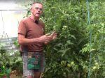 La taille et la conduite des légumes du soleil