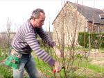 Tailler un arbre fruitier en quenouille