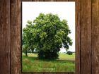 Tilleul à petites feuilles, Tilia cordata : fiche botanique
