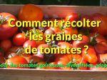 Comment récolter les graines de tomates ?
