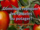 Comment repiquer les tomates au potager ?