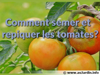تزرع وتزرع الطماطم؟ tomate-semer-repique