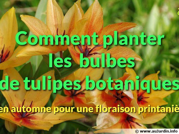 Comment bien planter les tulipes botaniques ?
