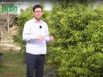Le Yuzu, culture et entretien du citron japonais