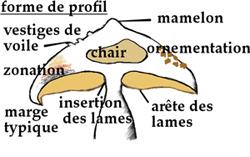 Description anatomique des éléments du chapeau du champignon