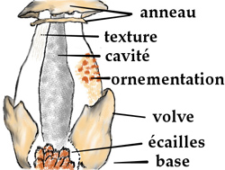 Anatomie du stipe d'un champignon