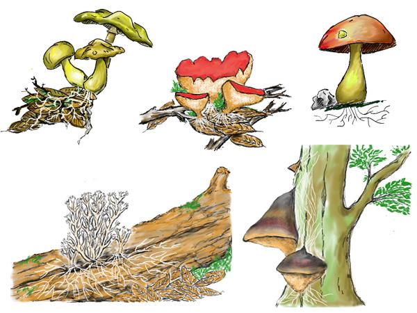 Représentation du mycélium sur différents types de champignons