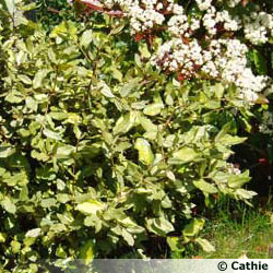 Haie fleurie qui pousse vite trendy les arbustes qui ont t choisis with haie fleurie qui pousse - Fleur qui pousse vite ...