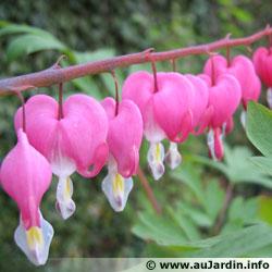 Dicentra rose Dicentra_spectabilis_fleur