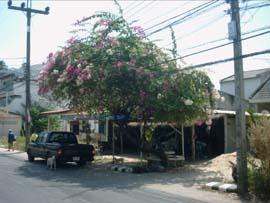 Bougainvillier panaché en arbre