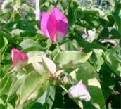 Bougainvillier rose blanc