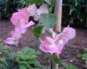 Bougainvillier rose pale