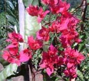 Bougainvillier rouge à fleurs doubles