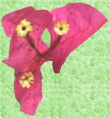 Fleur de bougainvillée