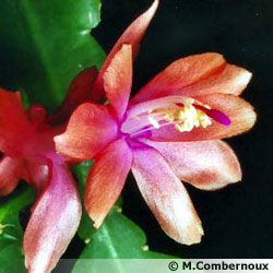 Schlumbergera X ' Sanibel ' à la fleur orange