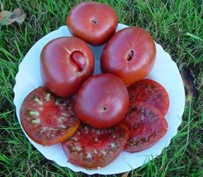 Production de semences de tomates