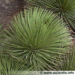 Agave stricta