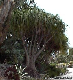 Pied d 39 l phant arbre bouteille noline recourb e for Arbre exotique exterieur